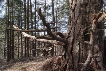 Turistická trasa k rozhľadni vedie zaujímavým lesom